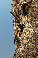 553710042 a wild female american kestrel falco sparverius lands at a cavity nest in a large pine tree with a rodent in its beak as food for its young in the nest in a pine forest near yakima washington