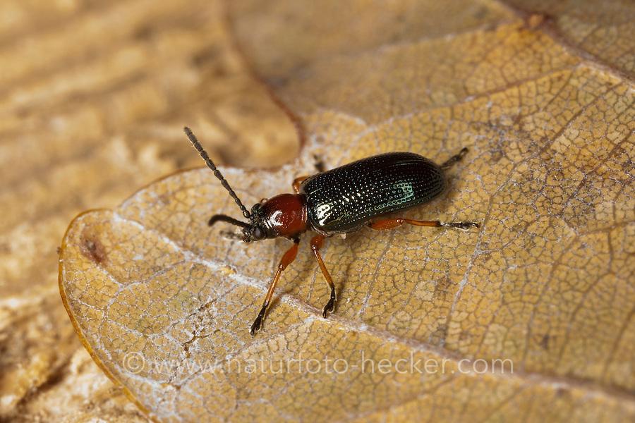 Rothalsiges Getreidehähnchen, Grashähnchen, Oulema melanopus oder Oulema duftschmidi, Lema melanopus oder Lema duftschmidi, Cereal Leaf Beetle