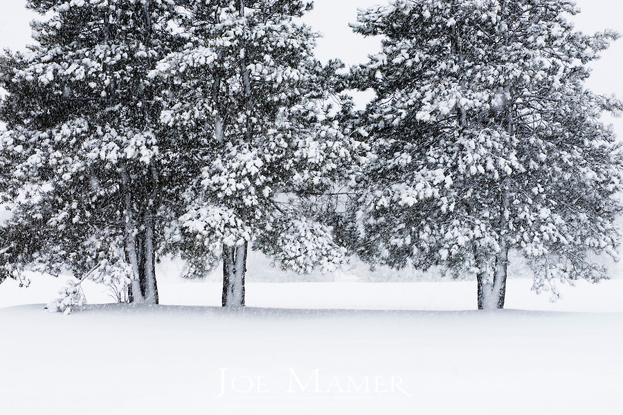 Three trees covered evergreen trees in snow in a pasture during a snowstorm in Minnesota.