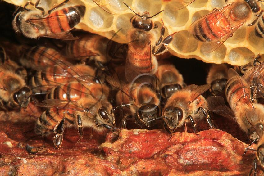 Honey bee in the beehive.