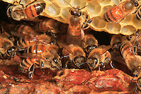 Honey bee in the beehive.