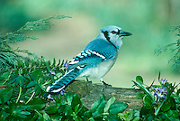 Bluejay, cyanocitta cristatta, in spring garden near violets