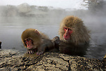 Japanese Macaque, Macaca, fuscata, young and adult monkey grooming one another, sitting in hot water spring, Jigokudani National Park, Nagano, Honshu, Asia, primates, old world monkeys, snow, macaques, behavior, onsen, red face, steam, nurture.Japan....