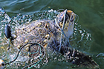 Green Turtle In Net