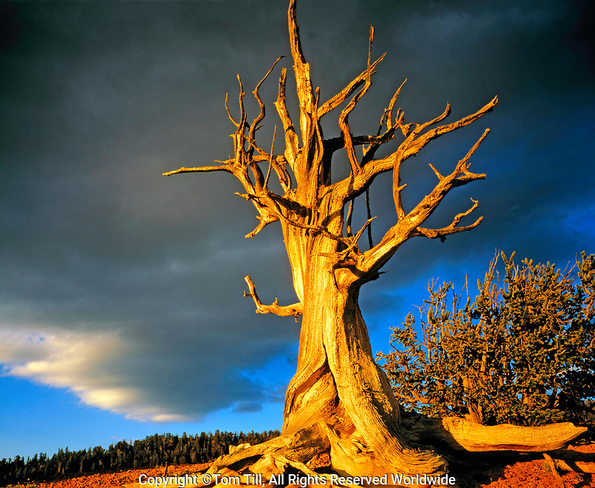 Bristlecone Pine at Sunset, Ashdown Gorge Wilderness, Dixie National Forest, Utah