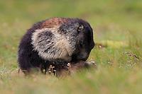 Alpine Marmot (Marmota marmota) toilet. Hohe Tauern National Park, Carinthia, Austria