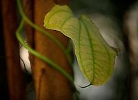 Tropical Rainforest Glasshouse (formerly Le Jardin d'Hiver or Winter Gardens), 1936, René Berger, Jardin des Plantes, Museum National d'Histoire Naturelle, Paris, France. Detail of Myriocarpa leaf against a trunk.