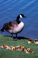 Canada Geese, Brant Geese, Snow Geese