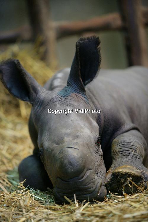 Foto: VidiPhoto..ARNHEM - Voor het eerst in een flink aantal jaren is er in Burgers' Zoo in Arnhem een neushoorn geboren. Voor moeder Kwanzaa is het haar eerste jong nadat ze in 2003 vanuit een Engelse dierentuin naar de safarivlakte van Burgers' kwam. Kwanzaa is 492 dagen zwanger geweest. Er worden slechts vijf neushoorns per jaar geboren in Europese dierentuinen. De baby weegt ongeveer 50 kilo.