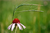 A coneflower on the American prairie.