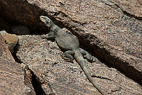 414050004 a wild chuckwalla sauromalus obesus basks on a volcanic rock near eureka dunes california