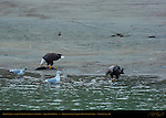 Bald Eagle and Juvenile Feeding on Salmon, Squamish River, Brackendale Eagles Provincial Park, Vancouver, British Columbia