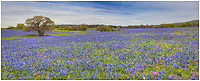 This panorama of bluebonnets comes from east of San Antonio. The wildflowers stretched far into the Texas hills, making this landscape a beautiful springtime scene