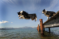 Two Australian shepherds jump from a dock into Lake Tahoe while attending dog camp. Camp Winnaribbun, second session, Lake Tahoe, California.  Sept. 8, 2011