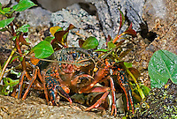 414490005 a wild pocambarus species of crayfish sits in aquatic plants in a small pond on a ranch in south texas