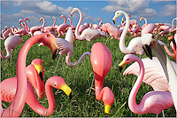 If you've lived in Austin, Texas, a while, you'll recognize the flock of flamingos in this photo. Though extinct for years, this group of pink plastic fowl once resided at the corner of 2244 and 360. They have since migrated up and down the busy 2244.
