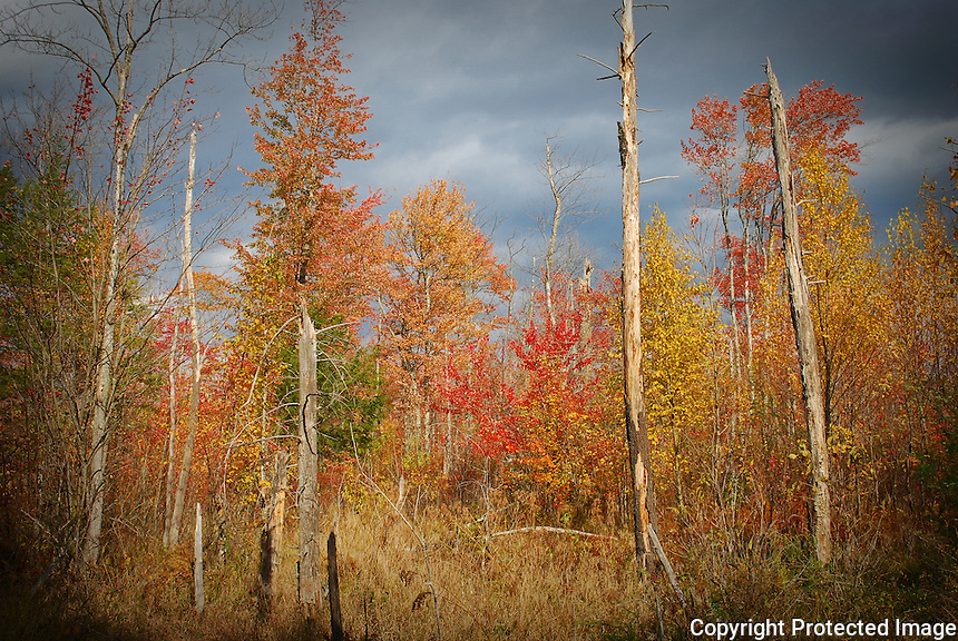 Fall colors in a hardwood swamp.