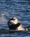 Orca and Southern Sea Lion, Peninsula Valdez, Argentina