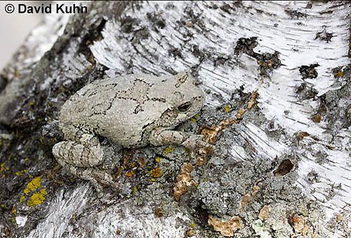 0202-0908  Eastern Gray Treefrog on White Bark (Grey Tree Frog), Hyla versicolor  © David Kuhn/Dwight Kuhn Photography