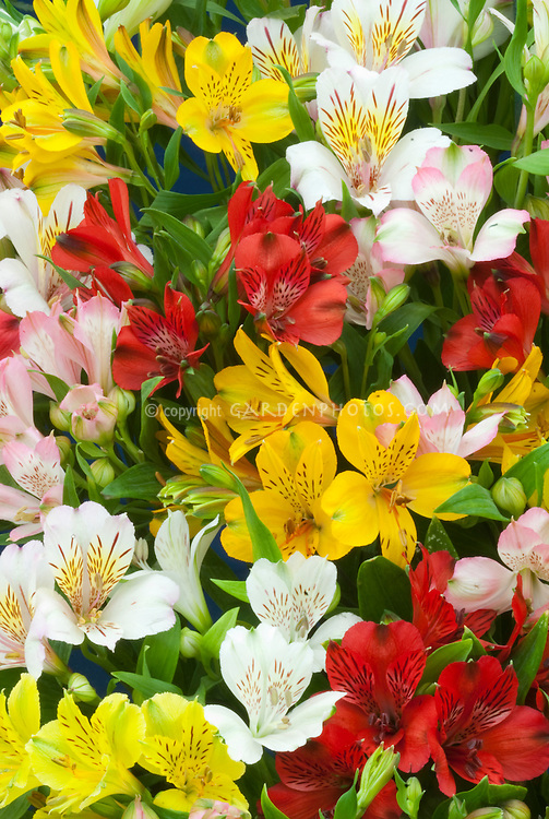 Alstroemeria mixed colors flowers