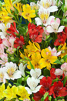 Alstroemeria mixed colors flowers