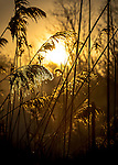Golden Reeds - Sunrise at Gardiner Park in West Islip