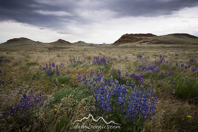 Oregon, Southeast, Jordan Valley. Purple lupine blooming in the desert of Southeastern Oregon in spring.