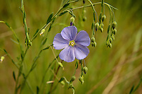 Linaceae (Flax Family)