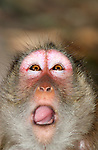 Long Tailed Macaque with Unusual Expression