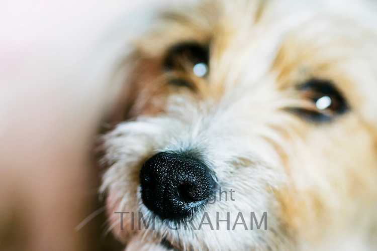 Long-haired Jack Russell Terrier, Oxfordshire, United Kingdom