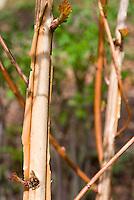 Peeling interesting Bark of Physocarpus opulifolius Coppertina shrub bush aka Mindia aka Diable d'Oro, ornamental trunk