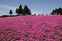 Shibazakura attracts Golden Week visitors to Chichibu Hitsujiyama Park