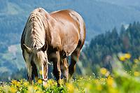 Horse eats from alpine meadow