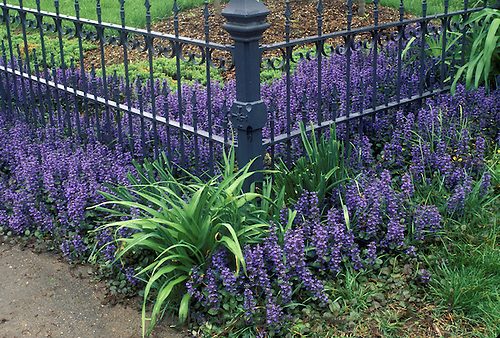 Wrought iron fence at corner of yard and bright purple ajuga blooming after a rain