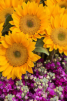 Yellow sunflowers with purple stock annual cut flowers for bouquets, display at Takii Seeds