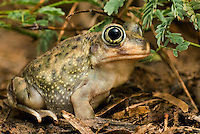 479600003 Couch's Spadefoot Toad Scaphiopus couchi WILD _DLW9477.Sitting on ground after rainstorm.Rio Grande Valley, Texas