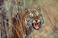 Portrait of a snarling tiger.
