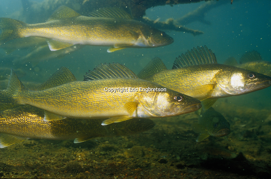 Walleye Fish Underwate...