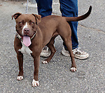 ANSONIA CT-JULY 27 2011 - 081111DA01  My name is Kamil. I am a female red nose pit bull mix about 1 1/2 years old. I am a very sweet and vibrant young lady. I love to go for walks and walk very well on a leash. I was found roaming around the town of Ansonia, and was taken into the dog pound and no one has come to claim me so if you are interested in meeting me please call my friends at Ansonia Animal Shelter 203-732-7013<br /> Darlene Douty Republican-American