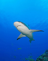 Caribbean Reef Shark, Carcharhinus perezi, West End, Grand Bahama, Atlantic Ocean