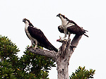 Two ospreys perched in a tree on Monkey Island, with fish