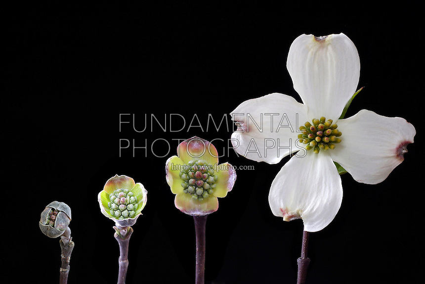 FLOWERING PLANT PROGRESSION<br /> American Dogwood, Cornus florida<br /> Composite photograph showing the progression of development from bud to blossom.  The petals of the dogwood are actually bracts, modified leaves that protect the tiny yellow flowers in the middle.
