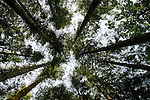 Canopy of trees against blue sky in Vancouver island forest. British Columbia, Canada