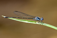 338450007 a wild male dusky dancer argia translata damselfly male perches on a grass stem over the sabinal river in lost maples state natural area bandera county texas united states