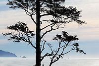 Sitka Spruce (Picea sitchensis) tree on Oregon Coast, Ecola State Park, Oregon, USA