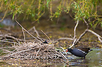 Moorhen guards chick in a nest  on a pond in Swinbrook, The Cotswolds, Oxfordshire, UK