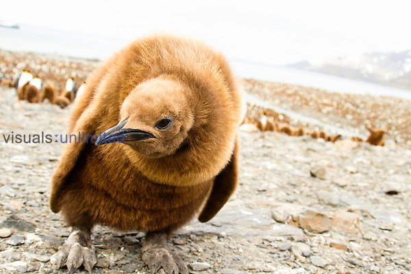 King Penguin chick (Aptenodytes patagonicus), St. Andrews Bay, Antarctica