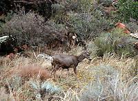 MAMMALS<br /> Mule Deer<br /> Odocoileus hemionus, Grand Canyon NP