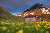 Red barn in field of wild flowers, Myrland, Flakstadøy, Lofoten Islands, Norway