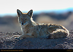 Coyote at Rest, Bosque del Apache Wildlife Refuge, New Mexico